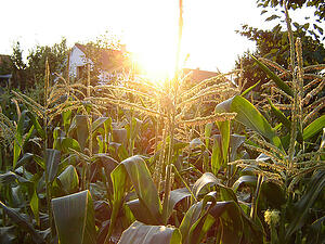 How_a_Mandate_for_Corn_Ethanol_Hurts_Business_-_From_the_Source